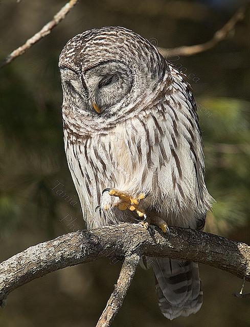 BARRED OWL Strix varia Feb. 7, 2010