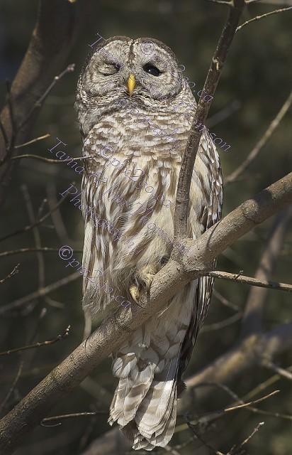 BARRED OWL Strix varia February 23, 2011