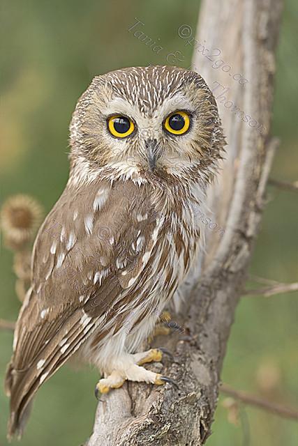 NORTHERN SAW-WHET OWL Aegolius acadicus Nov. 11, 2010