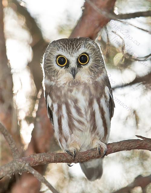 NORTHERN SAW-WHET OWL Aegolius acadicus Nov. 18, 2009