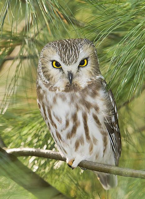 NORTHERN SAW-WHET OWL Aegolius acadicus Nov. 22, 2009