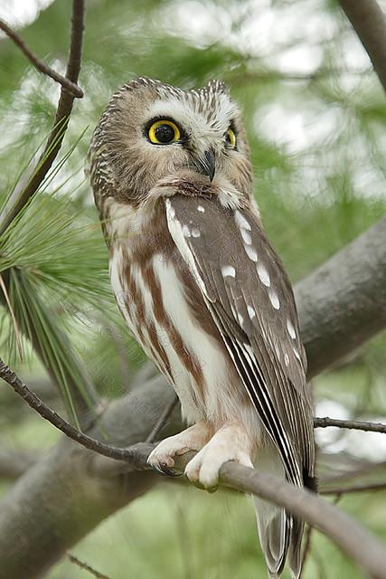 NORTHERN SAW-WHET OWL Aegolius acadicus Nov. 11, 2009