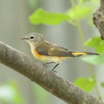 AMERICAN REDSTART