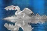 MUTE SWAN Cygnus olor 2012