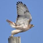 Highlight for Album: Ontario Birds