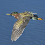 GREEN HERON