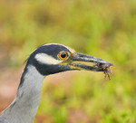 YELLOW-CROWNED