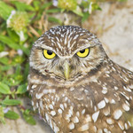 BURROWING OWL Athene cunicularia Nov.30, 2009