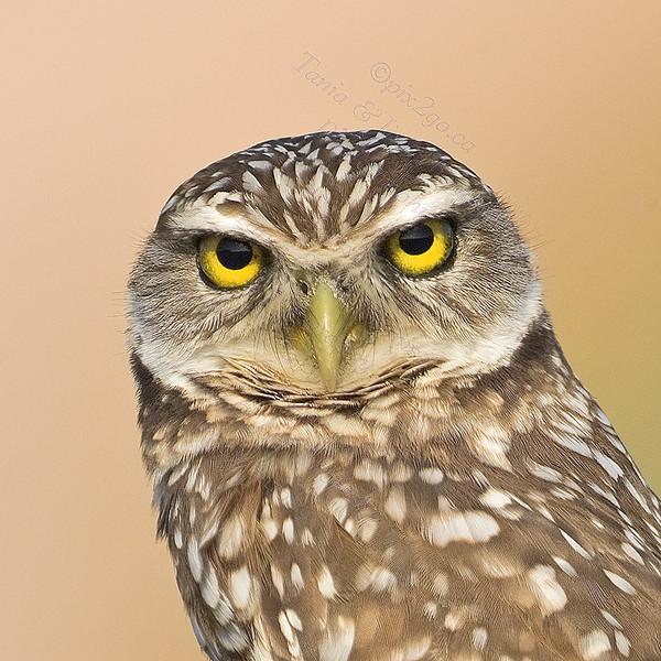 BURROWING OWL Athene cunicularia Dec. 13, 2009