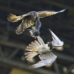 Highlight for Album: Peregrine Falcon