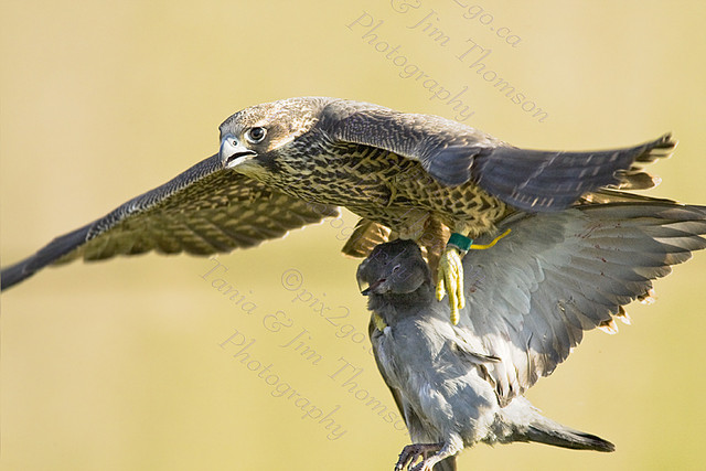 PEREGRINE FALCON Falco peregrinus August 2, 2008