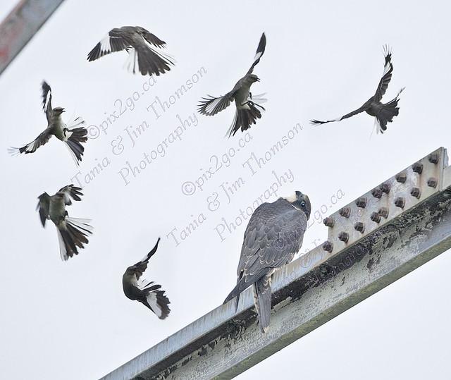 PEREGRINE FALCON Falco peregrinus June 28, 2009