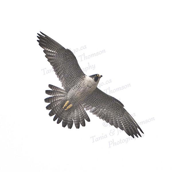 PEREGRINE FALCON Falco peregrinus June 3, 2009