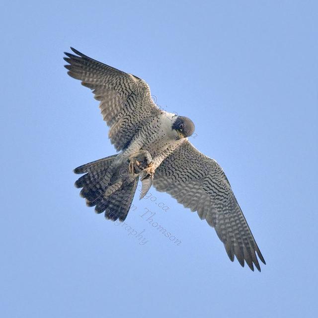 PEREGRINE FALCON Falco peregrinus July 5, 2009