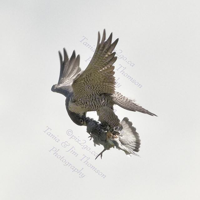 PEREGRINE FALCON Falco peregrinus July 8, 2009