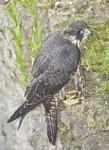 PEREGRINE FALCON Falco peregrinus July 9, 2008