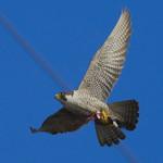 PEREGRINE FALCON Falco peregrinus July 6, 2008