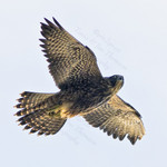 PEREGRINE FALCON Falco peregrinus July 12, 2008