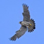 PEREGRINE FALCON Falco peregrinus July 13, 2008