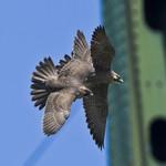 PEREGRINE FALCON Falco peregrinus July 15, 2008