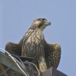 URBAN FALCON Peregrine Falcon Falco peregrinus July 19, 2008