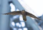 MOVE IT, BUSTER! Peregrine Falcon Falco peregrinus July 27, 2008