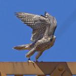 LOOK AT ME, MA! Peregrine Falcon Falco peregrinus July 15, 2008