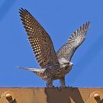 FLY LIKE A ... Peregrine Falcon Falco peregrinus July 15, 2008