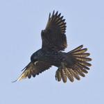 PEREGRINE FALCON Falco peregrinus August 9, 2008