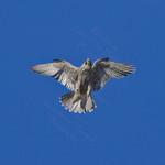 SHOW TIME! Peregrine Falcon Falco peregrinus July 5, 2008