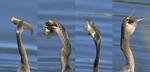 BIG MOUTH Anhinga Anhinga anhinga Feb. 18, 2009