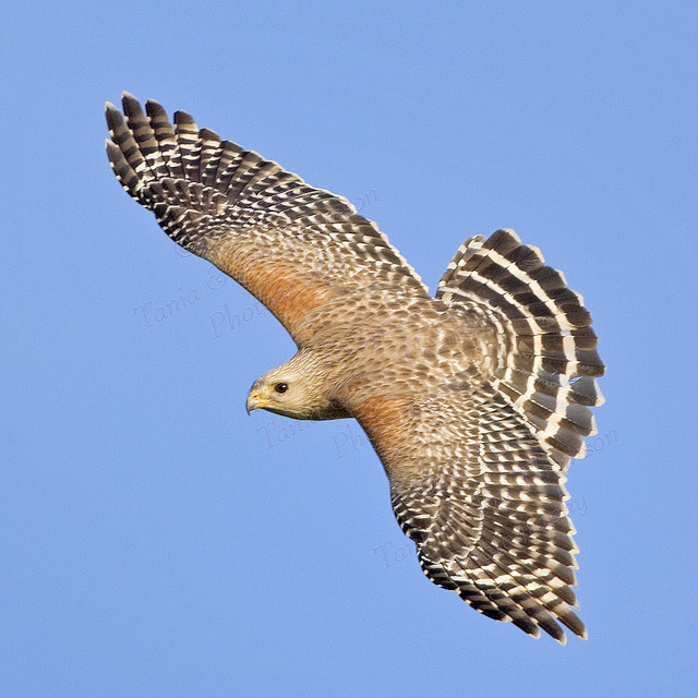 RED-SHOULDERED HAWK Buteo lineatus Feb. 16, 2009