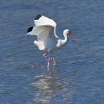 WHITE IBIS Eudocimus albus Feb. 8, 2009