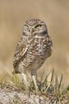 BURROWING OWL Athene cunicularia Feb. 9, 2009