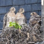 Highlight for Album: Red-tailed Hawk. Galt 2010.